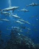 Grey reef sharks patroling Stock Photo