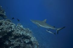 Grey reef sharks patroling Stock Images