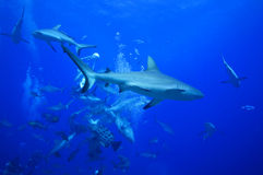 Grey reef sharks patroling Royalty Free Stock Photo