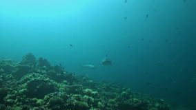 Grey Reef Sharks swimming over a coral reef stock video footage