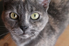 Grey Rescue Cat. Pretty Grey cat in rescue shelter stock photos