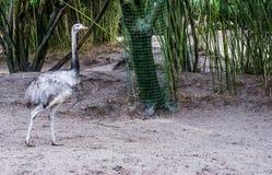 Grey rhea walking in the sand, big flightless bird from America, Near threatened animal specie. A grey rhea walking in the sand, big flightless bird from America stock image
