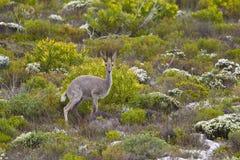 Grey Rhebok Image libre de droits