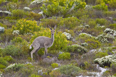Grey Rhebok immagine stock libera da diritti