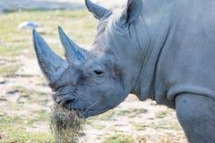 Rhino. A grey rhino eating grass stock photography