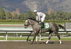 Grey Roan Race Horse Stock Images