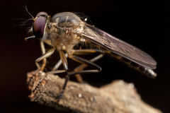 Grey Robber Flies Stock Photography
