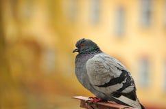 Grey Rock Pigeon Close-Up imagem de stock royalty free