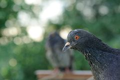 Grey Rock Pigeon Close-Up Stock Photo