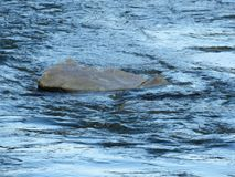 Grey rock in river water background. Water. Rock. Stone. Nature. Grey rock in river water background. Blue river water background. Running water background royalty free stock image