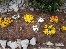 Grey rocks and yellow and white flowers in mulch royalty free stock image