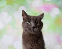 Grey Russian Blue Breed Cat Funny Face Portrait royalty free stock photo