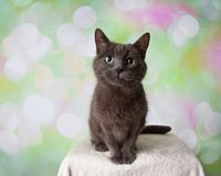 Grey Russian Blue Breed Cat Sitting Portrait royalty free stock images