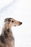 Grey saluki portrait Stock Photos
