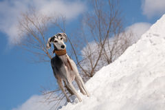 Grey saluki Stock Photos