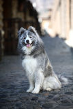 Grey samoyed Stock Images
