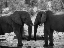 Grey Scale Photograph of Two Elephant Royalty Free Stock Photos