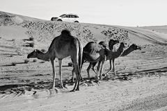 Grey Scale Photography of Three Camels on Desert Royalty Free Stock Photos