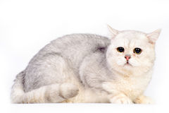 Grey scottish cat Stock Photography