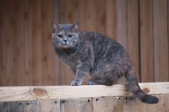 Grey Scottish cat in the village. Beautiful Scottish straight cat on a wooden Board. Grey Scottish cat in the village. Beautiful Scottish straight cat on a stock photo
