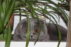 Grey Scottish Fold cat Stock Images