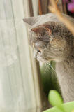 Grey Scottish Fold cat Stock Photography