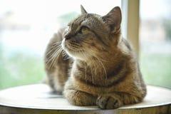 Grey Scottish Fold cat looking something. Royalty Free Stock Image