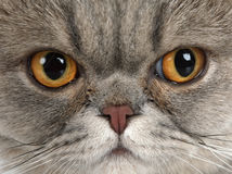 Grey Scottish Fold Cat muzzle Stock Photography
