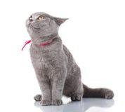 Grey Scottish Fold cat with pink ribbon sitting on white, look up Stock Image