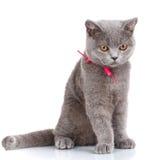 Grey Scottish Fold-de kat met roze lintzitting op wit, ziet neer eruit royalty-vrije stock fotografie