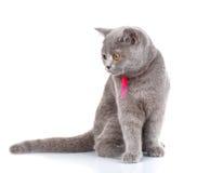 Grey Scottish Fold-de kat met roze lintzitting op wit, ziet neer eruit royalty-vrije stock afbeeldingen
