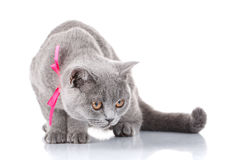 Grey Scottish Fold-kat met roze lintzitting op wit royalty-vrije stock afbeeldingen