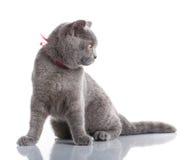 Grey Scottish Fold-kat met roze lintzitting op wit stock fotografie