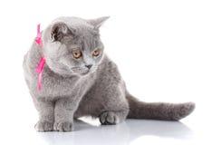 Grey Scottish Fold-kat met roze lintzitting op wit stock foto's