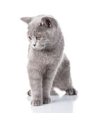 Grey Scottish Fold-kattenzitting op wit, concept gunst royalty-vrije stock foto