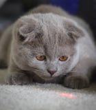 Grey Scottish Fold Kitten Chasing-Laser Stockfotos