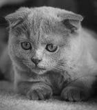 Grey Scottish Fold Kitten Looking verließ Stockbilder