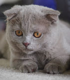 Grey Scottish Fold Kitten Looking verließ Stockbild