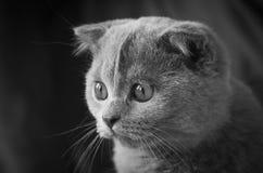 Grey Scottish Fold Kitten Looking verließ Lizenzfreie Stockfotografie
