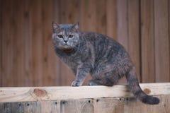 Grey Scottish-kat in het dorp Mooie Schotse rechte kat op een houten Raad stock foto
