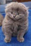 Grey scottish kitten Royalty Free Stock Images