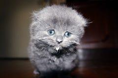 Grey scottish kitten Stock Photography