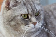 Grey scottish straight cat sitting outside