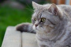 Grey scottish straight cat sitting outside.
