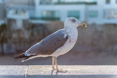 Grey sea gull Stock Images
