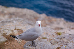 Grey seagull on the cliffs Stock Images
