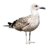 Grey Seagull isolated on white background Royalty Free Stock Photos