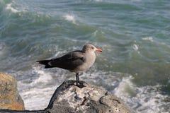 Grey Seagull Overlooking Ocean Stock Image