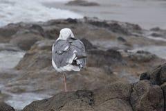 Grey Seagull Resting 01 Royaltyfri Fotografi