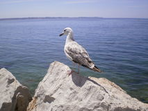 Grey seagull on a rock Stock Photo